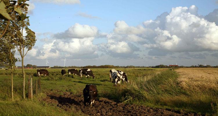 Rund um`s Hofleben auf Oldewurtels Ferienhof - Unsere Kühe