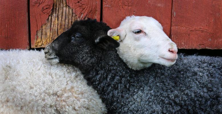 Die Schafe gehören hier zur Landschaft wie das Wasser