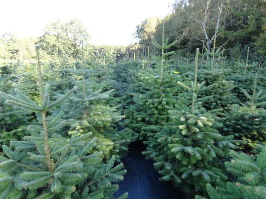 Hier machen wir diesen Weihnachten 2015 Verkauf ab Wald zum Selbstschlagen