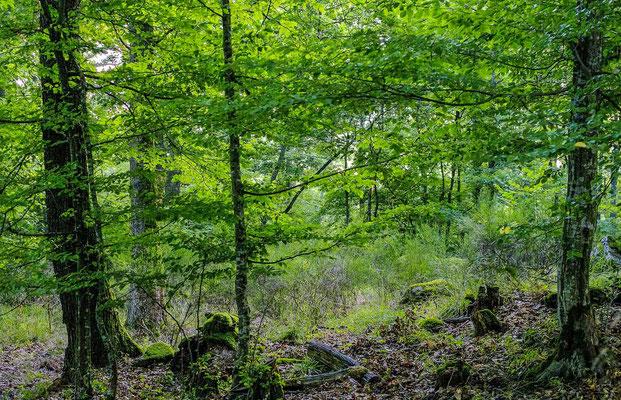 Photos de forêts des Vosges - Forêt de Scherwiller - Dominique MAYER - Photographie - www.dominique-mayer.com