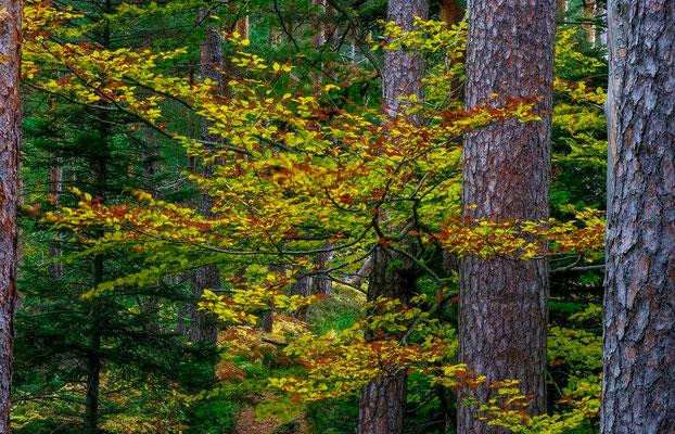 Photos de forêts des Vosges - Forêt du Massif de La Madeleine - Dominique MAYER - Photographie - www.dominique-mayer.com