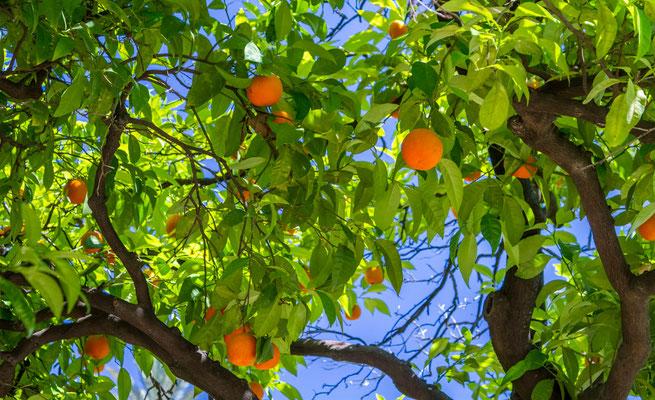 Orangers - Les rues de Séville - Flâner à Séville - Séville en Espagne - Photos de Séville - Vacances en Espagne - Dominique MAYER - www.dominique-mayer.com