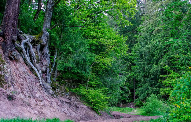 Photos de forêts des Vosges - Forêt de Barr en Alsace - Dominique MAYER - Photographie - www.dominique-mayer.com