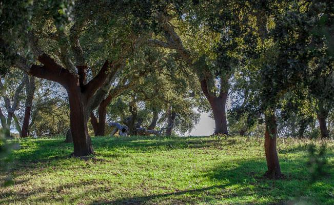 Culture d'Oliviers - Sierra de Grazalena en Espagne - Photos de nature - Photos de paysage en Espagne - Vacances en Espagne - Dominique MAYER - www.dominique-mayer.com