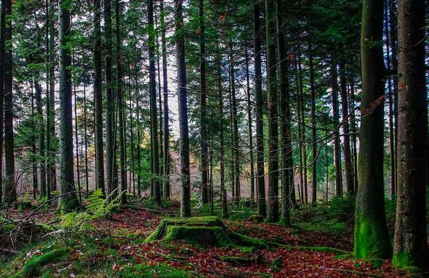 Photos de forêts des Vosges - Forêt de Lusse, Vosges - Dominique MAYER - Photographie - www.dominique-mayer.com