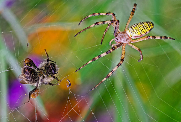 Araignées, arachnides - Photos d'insectes - Photographies de nature - Dominique MAYER - www.dominique-mayer.com