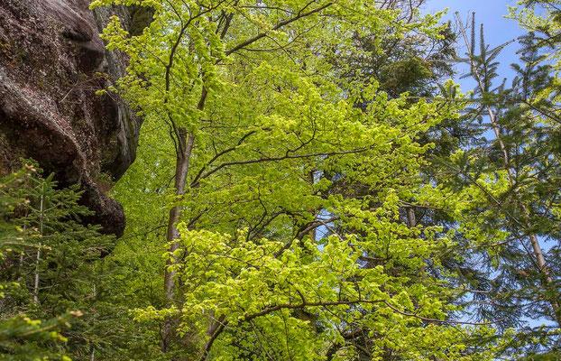 Photos de forêts des Vosges - Forêt du Nonnenberg, rocher du Diable, Walscheid en Moselle - Dominique MAYER - Photographie - www.dominique-mayer.com