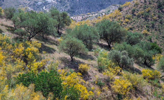 Oliveraie, Province de Malaga en Espagne - Photos de nature - Photos de paysage en Espagne - Vacances en Espagne - Dominique MAYER - www.dominique-mayer.com
