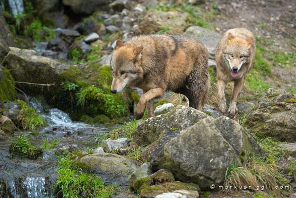 Die Wölfe auf Exkursion im Tigergehege
