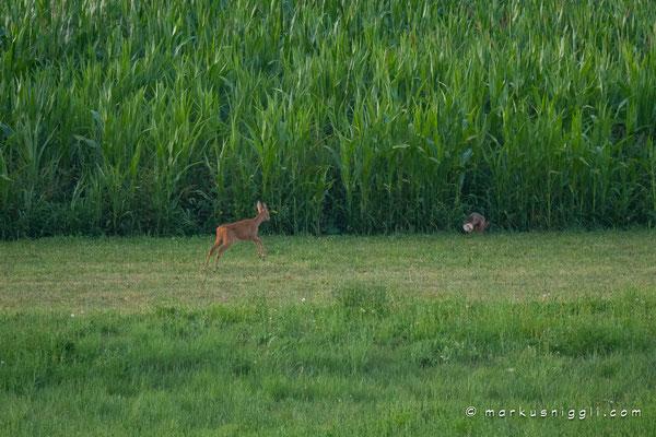 Rehgeiss vertreibt Fuchs in ein Maisfeld