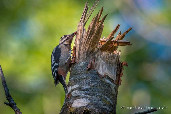 Buntspecht Jungvogel, am ersten Tag ausserhalb der Bruthöhle