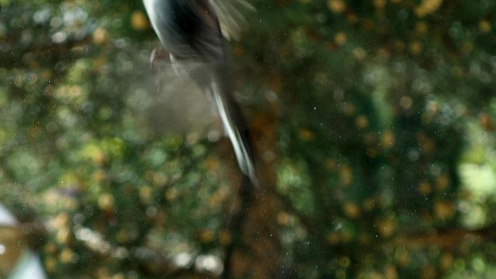 Envol donc flou mais on voit la longue queue caractéristique