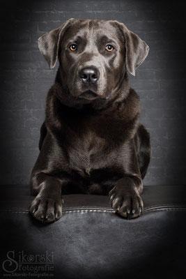 """02.12.2016 - Labrador """"Oscar"""""""