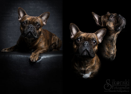 "01.02.2017 - Franz. Bulldogge ""Diego"""