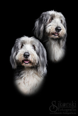 "13.02.2017 - Bearded Collie ""Paulchen"""