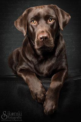 """13.11.2015 - Labrador """"Luna"""""""