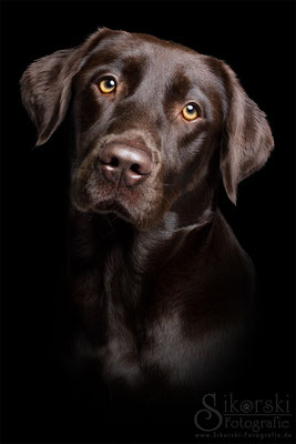 """27.02.29016 - Labrador """"Bella"""""""