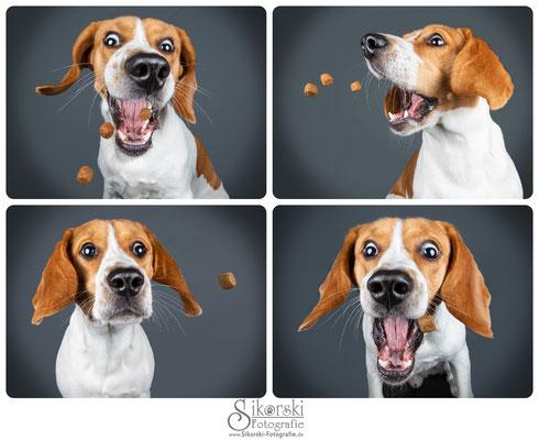 "30.07.2019 - Beagle ""Manfred"""
