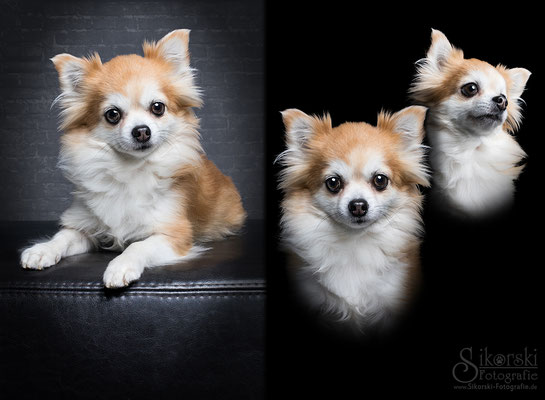 "19.12.2017 - Chihuahua ""Rudi"""