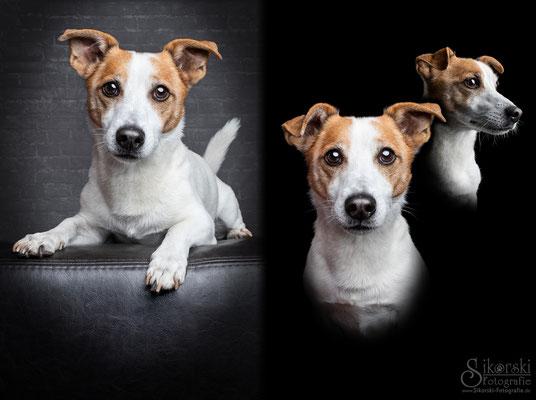 """29.10.2018 - Jack Russel Terrier """"Cosmo"""""""