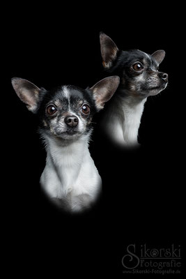 "18.01.2017 - Chihuahua ""Oskar"" & Mischling ""Paula"""