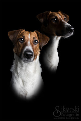 "18.01.2017 - Fox Terrier ""Sherlock"""