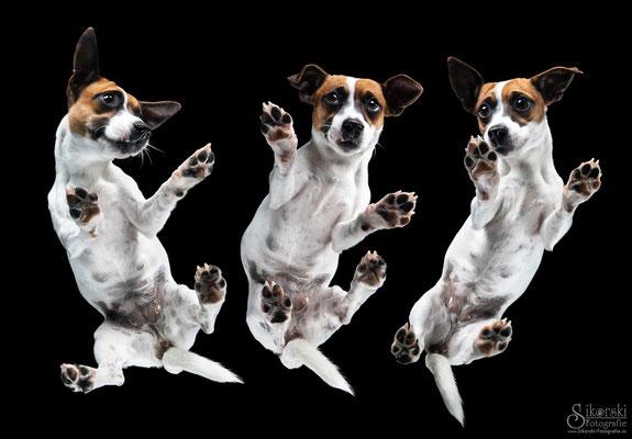 """18.07.2019 - Jack Russel Terrier """"Mara"""""""