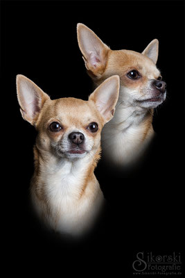 "14.12.2015 - Chihuahua ""Cloe"""