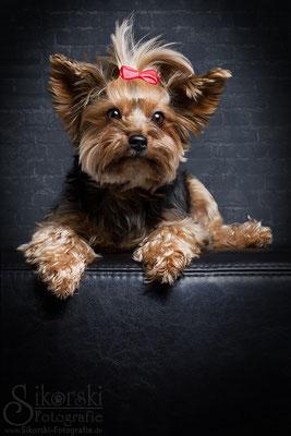 """13.12.2016 - Yorkshire Terrier """"Kira"""""""