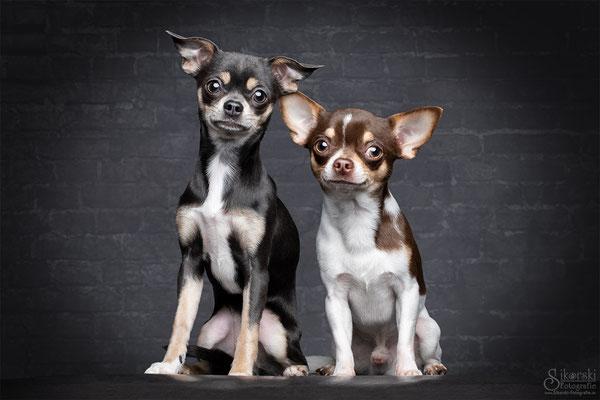 """01.02.2019 - Chihuahuas """"Spike & Nici"""""""
