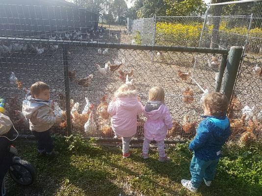 Unsere Freilandhühner vom Nepomuk