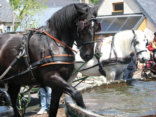 Cheval de l'attelage s'abreuvant à la fontaine près du Gîte des Sagnes