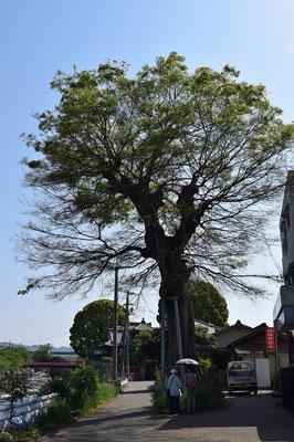 【西大寺の町並みシリーズ(その12)】明治時代、鉄道が通る以前水運が重要な輸送手段で、吉井川を下ってきた高瀬舟は西大寺に泊まり荷は陸送された。写真は「浜倉の榎」と呼ばれていた大樹。高瀬舟はこの大木に繋がれた。江戸時代、吉井川に注ぐ〈新堀川〉の「浜倉の榎」付近が船着き場で倉が建ち並んでいた(とのこと)。