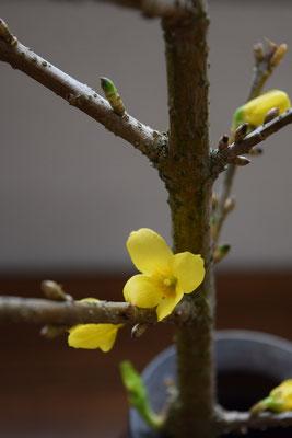 春らしさを感じる枝からお花が咲き始めました。先週の献花が活きてます!