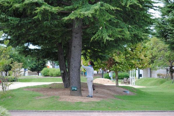 【西大寺の町並みシリーズ(その51 )】2015年9月、これも西大寺の風景。東区役所の脇にある公園にヒマラヤ杉が5本ある。気持ちが落ち着く不思議な場所。