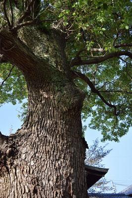 【西大寺の町並みシリーズ(その32)】この木は、今の一心堂病院さんのすぐ脇にある神社の中にあります。右隣の写真の少年が木登りを覚えたのはこの木です。西大寺の人通りをじっと眺めてきた一本。