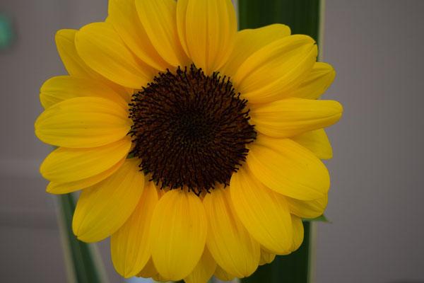 夏本番を告げるひまわりさんが礼拝堂の献花に