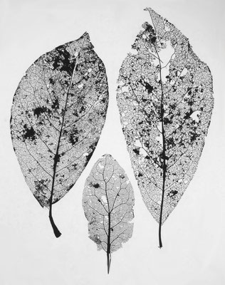 Willemine Jaspars - Trois feuilles - photogramme