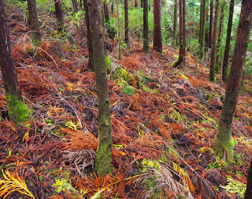 Wald bei Misterios Negros - Terceira