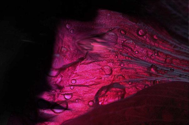 KW 06: Ein Gesicht wie ein zartes Rosenblatt - Foto leicht bearbeitet
