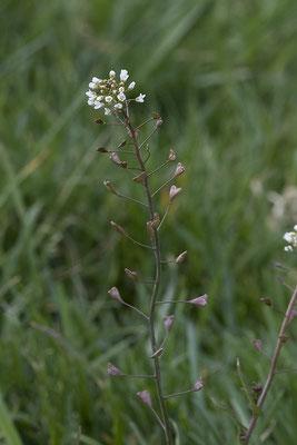955 Capsella bursa-pastoris, Gemeines Hirtentäschel