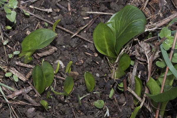 2414 Arum maculatum, Gemeiner Aronstab