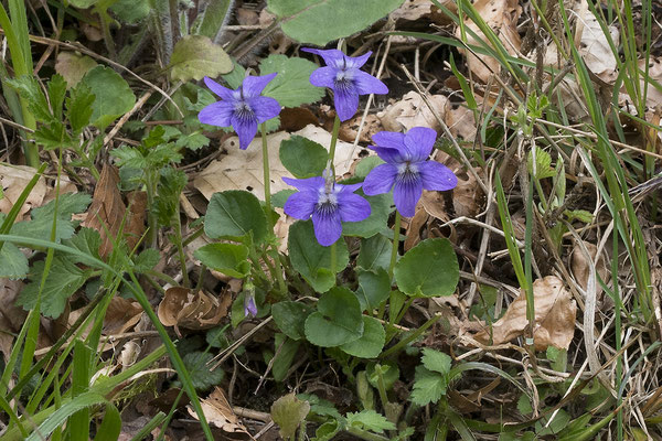 721 Viola reichenbachiana, Wald-Veilchen