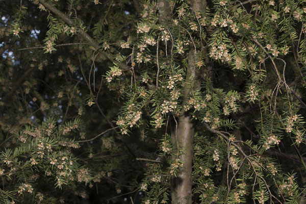 96 Taxus baccata, Eibe