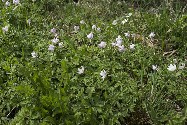142 Anemone nemorosa, Busch-Windröschen