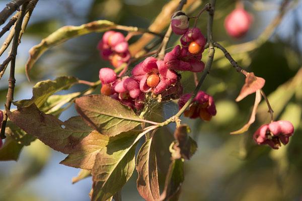 691 Euonymus europaeus, Gemeines Pfaffenhütchen