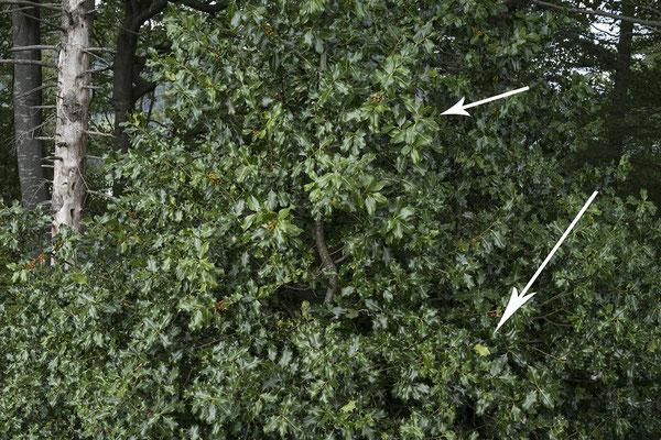 1816 Ilex aquifolium, Stechpalme