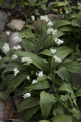 2486 Allium ursinum, Bärlauch