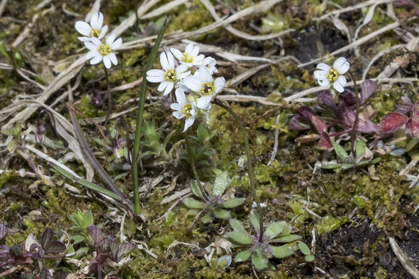 945 Erophilla verna, Gewöhnliches Frühlings-Hungerblümchen