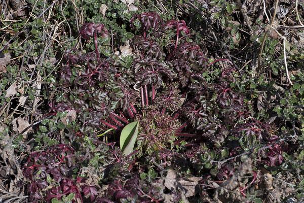 1077 Geranium robertianum, Stinkender Storchschnabel
